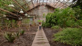 Woman in greenhouse is carrying tray with seedlings small plants to planting. Professional gardener young woman in uniform at work in greenhouse is carrying stock video
