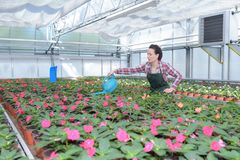 Woman greenhouse employee watering plants Royalty Free Stock Image