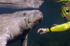 Woman greets manatee royalty free stock photos