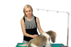 Woman-groomer brushing fluffy shih tzu on white. Woman-groomer brushing fluffy shih tzu dog on the table - isolated on white Royalty Free Stock Images