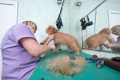 Woman groomer makes trimming Brussels Griffon Stock Images
