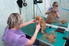 Woman groomer makes trimming Brussels Griffon Stock Image