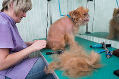 Woman groomer makes trimming Brussels Griffon Stock Photo