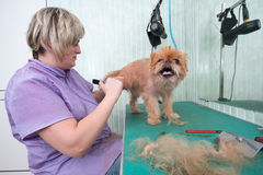 Woman groomer makes trimming Brussels Griffon Stock Photography