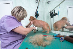 Woman groomer makes trimming Brussels Griffon Royalty Free Stock Photo