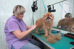 Woman groomer makes trimming Brussels Griffon Royalty Free Stock Image