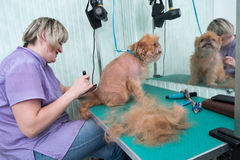 Woman groomer makes trimming Brussels Griffon Royalty Free Stock Images
