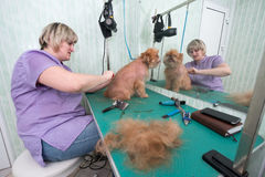 Woman groomer makes trimming Brussels Griffon Royalty Free Stock Photography