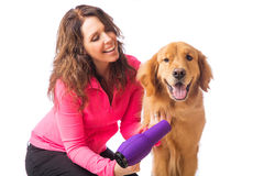 Woman grooming golden retriever dog Royalty Free Stock Images