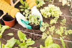 Woman Growing Vegetable In Raised Bed. Closeup of young woman wearing gloves while planting in organic garden stock photo