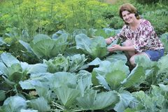 A woman grows cabbage in the garden. Woman sitting on a cabbage field in summer royalty free stock image
