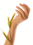 Woman hand. S holding a wheat isolated over white Royalty Free Stock Photos