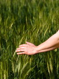 Woman hand in barley field. Closeup of a woman hand touching green barley ears Stock Photos