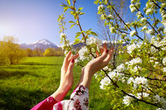 Woman hand and blossom tree at spring Royalty Free Stock Image