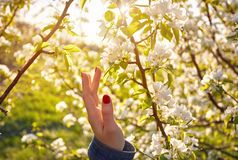 Woman hand and blossom tree at spring Royalty Free Stock Photos