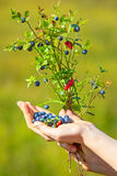 Woman hand with blueberry and lingonberry Royalty Free Stock Photography