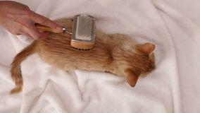 Woman hand brush an orange tabby kitten fur - top view stock video