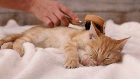 Woman hand brushing a kitten fur with special brush stock video