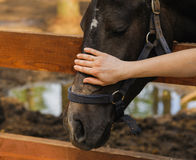 Woman hand caress horse on head Royalty Free Stock Images