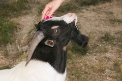 Woman hand caressing the head of goat. Woman hand caressing the head of tibetan goat Stock Images