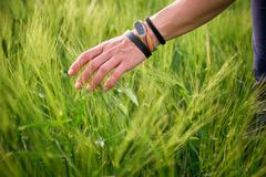 Woman hand caressing rye spikes/ears, while wearing several bracelets and a fitness tracker. Natural afternoon light in Spring. Woman hand caressing rye spikes/ royalty free stock photography