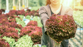 Woman hand catches salad. lettuce garden. Fresh from the garden. Stock Images