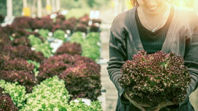 Woman hand catches salad. lettuce garden. Fresh from the garden. Royalty Free Stock Photos