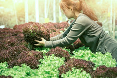Woman hand catches salad. lettuce garden. Fresh from the garden. Royalty Free Stock Image