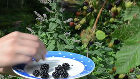 Woman hand collect ripe blackberry plant bush dish stock video