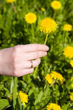 Woman hand with dandelion Stock Images