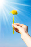 Woman hand with dandelion royalty free stock images