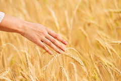 Woman hand with ear of wheat Stock Photos