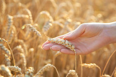 Woman hand with eer of wheat Royalty Free Stock Image