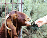 Woman hand feeding animal throw barn with grass in zoo Stock Photography