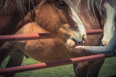 Woman hand feeding Belgian Heavy Horse at farm in North Texas, America. Close-up a Caucasian lady hand feeding Belgian horse at ranch in Bristol, Texas, USA stock photos