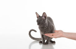 Woman Hand Feeding Black Cornish Rex Cat with food. White Background. Cat ignore it. Woman Hand Feeding Black Cornish Rex Cat with food. White Background. Cat Royalty Free Stock Image