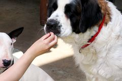 Woman hand is feeding dog. St. Bernard dog eating food with hands. Female owner gives his dog piece of pizza by hand. Woman hand is feeding dog. St. Bernard dog Royalty Free Stock Images
