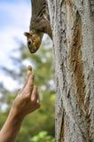 Woman hand feeding peanut to fox squirrel in tree. Woman hand feeding peanut  to fox squirrel in tree in Lewiston, Idaho Royalty Free Stock Photos