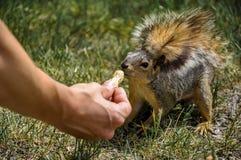 Woman hand feeding peanuts to fox squirrel. In Lewiston, Idaho Royalty Free Stock Image