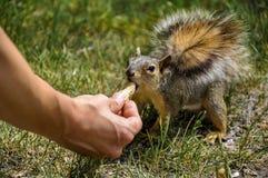 Woman hand feeding peanuts to fox squirrel. In Lewiston, Idaho Stock Photo