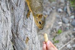 Woman hand feeding peanuts to fox squirrel in tree. Woman hand feeding peanuts  to fox squirrel in tree in Lewiston, Idaho Royalty Free Stock Image