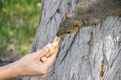 Woman hand feeding peanuts to fox squirrel in tree. Woman hand feeding peanuts  to fox squirrel in tree in Lewiston, Idaho Stock Photos
