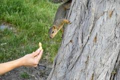 Woman hand feeding peanuts to fox squirrel in tree. Woman hand feeding peanuts  to fox squirrel in tree in Lewiston, Idaho Royalty Free Stock Photo