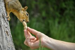 Woman hand feeding peanuts to fox squirrel in tree. Woman hand feeding peanuts  to fox squirrel in tree in Lewiston, Idaho Royalty Free Stock Images