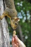 Woman hand feeding peanuts to fox squirrel in tree. In Lewiston, Idaho Stock Photography