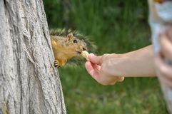 Woman hand feeding peanuts to fox squirrel in tree. Park in Lewiston, Idaho Royalty Free Stock Images