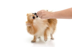 Woman hand feeding puppy on white background Royalty Free Stock Image