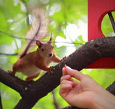 Woman hand feeding red squirrel Royalty Free Stock Images