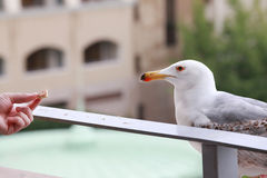 A woman hand feeds a seagull Stock Image