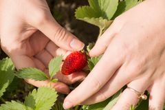 Woman hand with fresh strawberries collected in the garden. Stock Photo